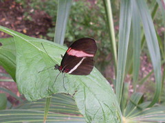 small postal butterfly