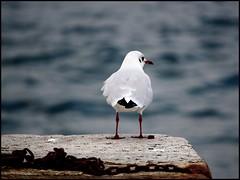 Sad and free (sara-maria) Tags: lake bird water see pier chains wasser sad seagull gull free mwe vogel lagomaggiore steg frei traurig ketten seemve anawesomeshot newgoldenseal