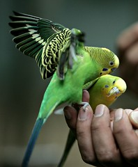 Parakeet (floridapfe) Tags: baby color bird nature animal zoo nikon korea everland 에버랜드 anawesomeshot everlandzoo