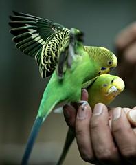 Parakeet (floridapfe) Tags: baby color bird nature animal zoo nikon korea everland  anawesomeshot everlandzoo