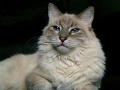 Bianca Falling (joecrowaz) Tags: arizona portrait cats pets animals olympus e500 naturesfinest supershot bej bestofcats colorphotoaward catmoments