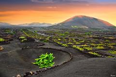 Malvasía en la Geria (pericoterrades) Tags: bravo lanzarote cultivo volcán viñas pericoterrades malvasía flickrsbest citrit absolutelystunningscapes
