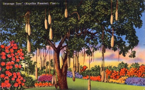Sausage Tree Postcard