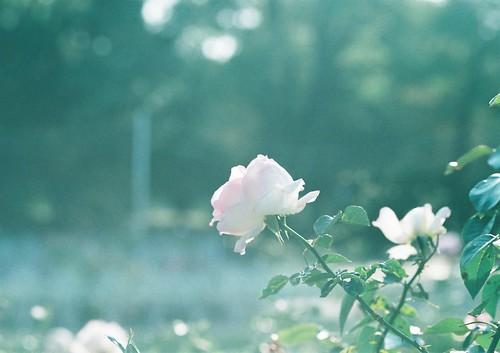 rosical