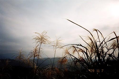 是芒草的季節