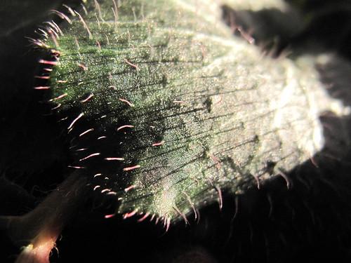 Saxifraga stolonifera 'Maroon Beauty'  (Strawberry Geranium)