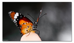 Catching the Butterfly. ([ Kane ]) Tags: wild blur colour nature butterfly focus dof bokeh african tiger australia monarch qld kane plain danaus chrysippus gledhill danauschrysippus 50d africanmonarch theplaintiger kanegledhill wwwhumanhabitscomau kanegledhillphotography