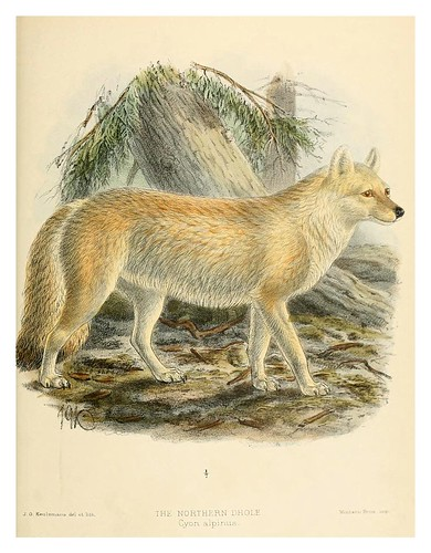 016-Perro salvaje nordico-Dogs jackals wolves and foxes…1890- J.G. Kulemans