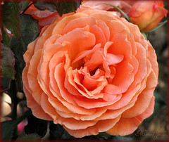 FOR MICKAEL (niceazurpassionpoesie) (Maclo) Tags: flowers roses orange flores macro nature colors beauty fleurs garden fiori botanicgarden mixedflowers photosandcalendar flowersarebeautiful excellentsflowers exquisiteflowers mimamorflowers faunaandfloraoftheworld flickrflorescloseupmacros panoramafotogrfico maclo rosesforeveryone