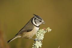 Crested Tit (J J McHale) Tags: crestedtit lophophanescristatus bird highlands scotland crestie nature wildlife