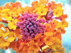 Uitbundigheid - exuberance (Mirthe Duindam) Tags: flowers nature colors natuur bloemen kleuren mirthe duindam
