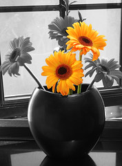 Oh so natural... (.ADRIANA ROMANO.) Tags: life flowers bw sun white house black flower colour macro nature beautiful yellow still sunflower colouring selective