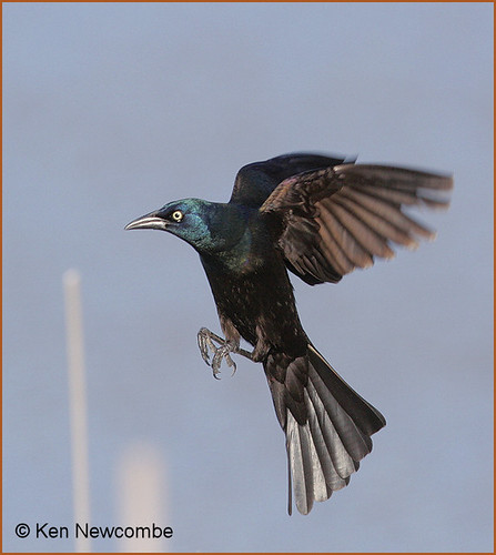 common grackle flight. Common Grackle