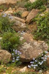 幌満お花畑のエゾルリムラサキ群生
