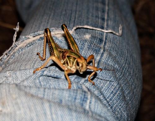 smgrasshopper029
