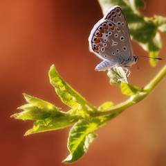 Butterfly (Theophilos) Tags: macro nature butterfly insect greece