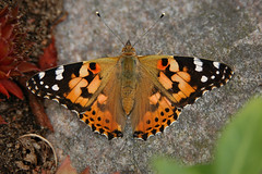 A Very Furry Butterfly (vanstaffs) Tags: butterfly paintedlady vanessacardui theperfectphotographer