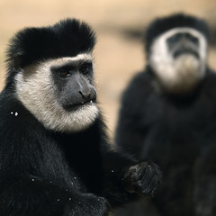 Colobus monkeys - Kenya (Eric Lafforgue) Tags: africa kenya culture tribal tribes afrika tradition tribe ethnic tribo afrique ethnology tribu eastafrica 1174 qunia lafforgue ethnie  qunia    kea    a