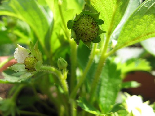 future strawberries