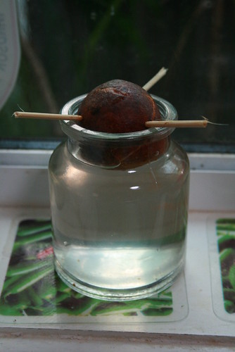 Will this Hass Avocado seed sprout into a nice fertile tree?