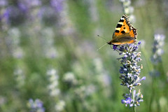 Lavender Lady (sminky_pinky100 (In and Out)) Tags: flower green texture nature butterfly pretty dof purple bokeh lavender soe paintedlady bej omot eyejewel hggt