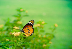 Just another butterfly in just another garden... (Ashu Mittal) Tags: flowers plants noida plant flower green nature butterfly interestingness nikon bokeh explore greenery 1855mm shrubs 2009 lightroom flickrexplore d40 bokehlicious nikond40 hggt flickroom ashumittal ashumittalphotography donotcopyitwillbebadkarma