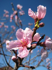 Nectarine bloesem