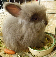 I luv me food and it's ALL mine (ixchelbunny) Tags: bunnies rabbits angora ixchel