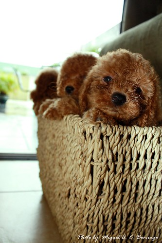 mini poodle pups