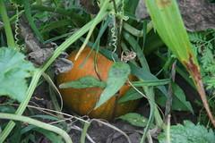 Baby Pam pumpkin