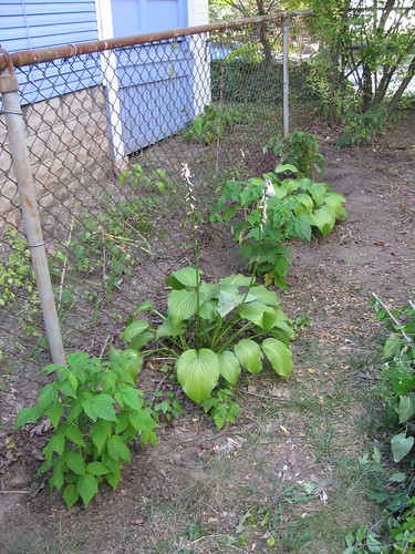 three raspberries with hostas in between