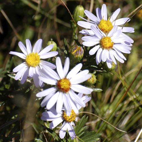 foss flowers copy