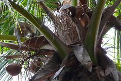 Coconut Monkey (Darel & Jess) Tags: pemba fundu