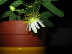 Passiflora standleyi Alba (Yero R. Kuethe) Tags: passiflora collected