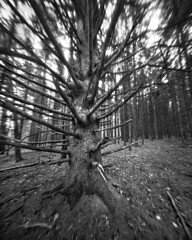 Methusaleh (integrity_of_light) Tags: autumn bw tree dead branches pinhole nationalforest westvirginia 4x5 lanscape longexposuretime silvergelatin fujiacros100 abelsonscopeworks