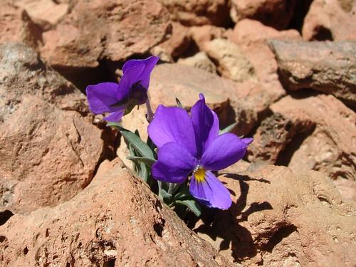 Violáceas en el Teide