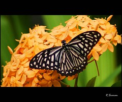 Common Mime (R.Sreeram) Tags: india butterfly kerala kollam swallowtailbutterfly ixora butterflyonflower chilasaclytia commonmime flickrdiamond orangethetti