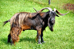 Billy Bob (EmperorNorton47) Tags: hawaii photo goats hilo mammals zoos billybob feralgoat panaewarainforestzoo spanishgoat caprahircushircus