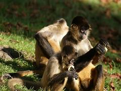 Hum, c'est trop bon (Choupette27) Tags: nature bb singe