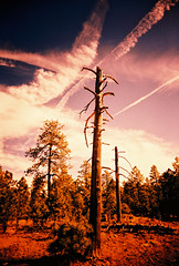 Our National Forests (kevin dooley) Tags: camera autumn red two arizona sky cloud color tree fall film leaves analog forest 35mm lens dead three lomo xpro lomography crossprocessed twins contrail fuji slim angle bare pair wide az line nationalforest plastic national land change soarin