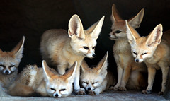 fennec foxes (floridapfe) Tags: animal zoo nikon fox fennec fennecfox naturesfinest desertfox d80 evreland vosplusbellesphotos