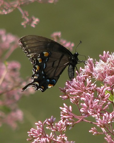 Butterflies - female Tiger Swallowtail on Joe Pye Weed