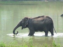 Elephant at bath