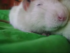 [video] Don't stop the love (Honey Pie!) Tags: cute rat linus explore rats ameliepoulain schroeder poulain fancyrat yanntiersen ratazana fancyrats amliepoulain explored ratazanas lavalsedesmonstres