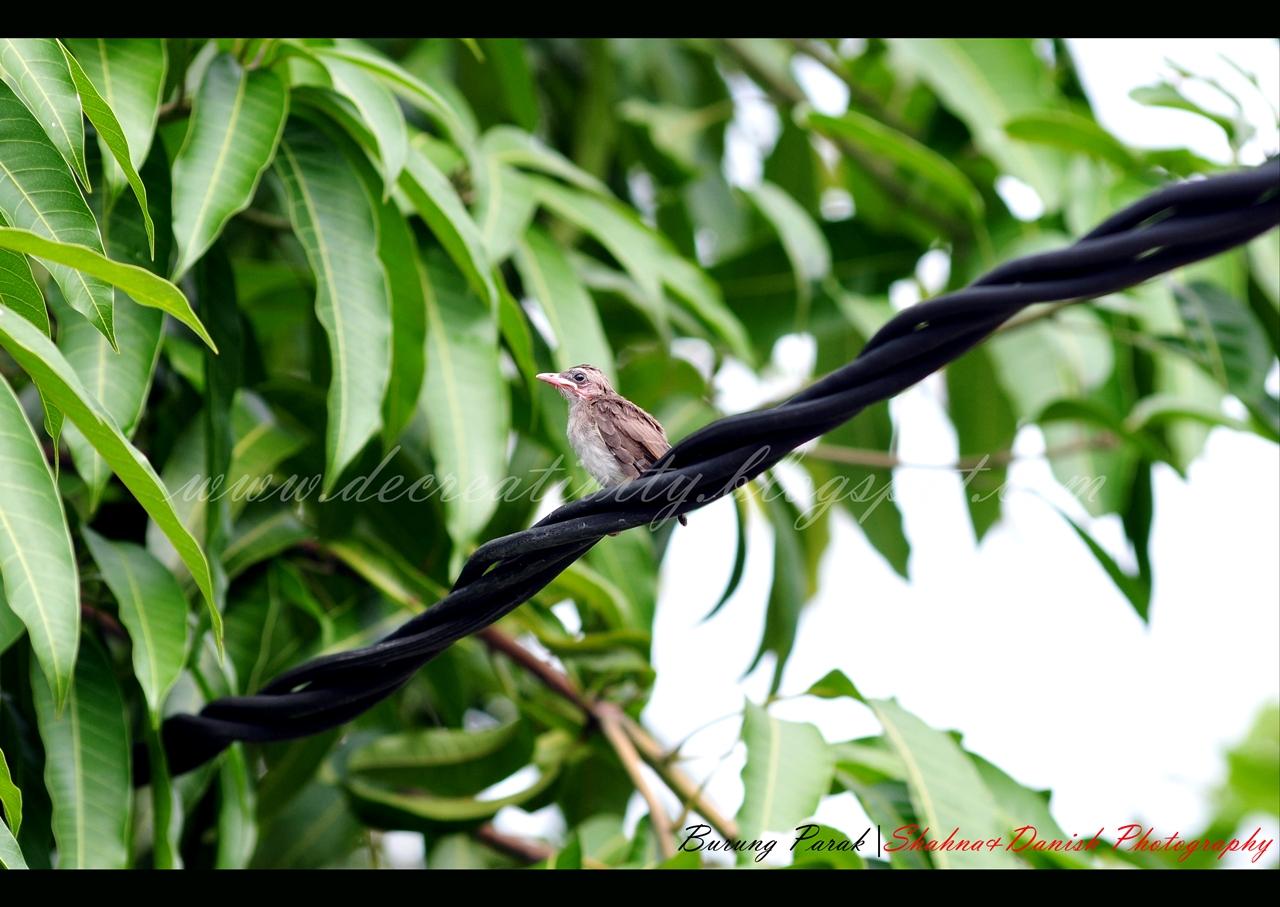 burung parak