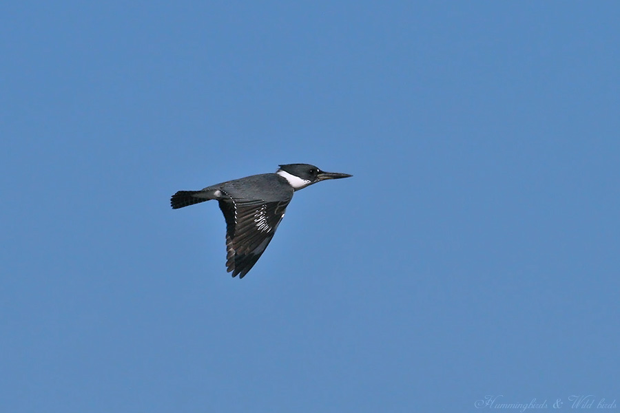Belted-Kingfisher-110902