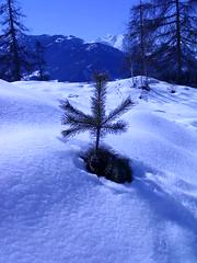 Tanne im Schnee (DrAcxat) Tags: schnee snow tree spring baum fichte frhling