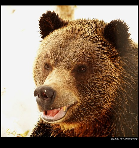 Grinder, the orphaned Grizzly