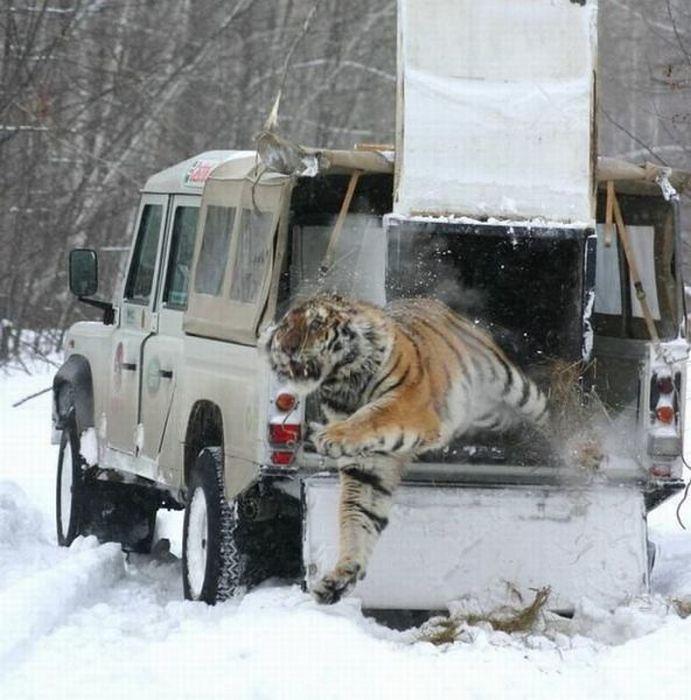 releasing-tiger