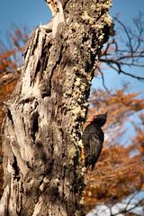 Female Magellanic Woodpecker (malaholic) Tags: patagonia bird woodpecker wildlife elchalten birdintree losglaciaresnationalpark carpinterogigante campephilusmagellanicus magellanicwoodpecker carpinteronegro